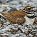 Killdeer nest and baby chick (Charadrius vociferus) by bcbirdergirl