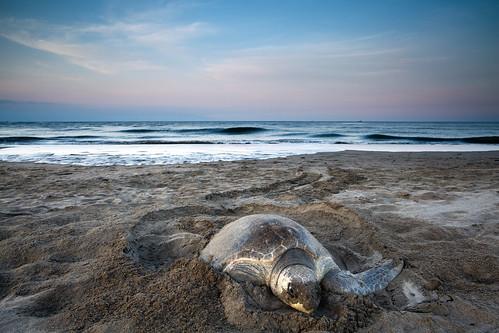 ocean morning beach closeup sunrise canon dawn day pacific turtle wideangle clear nuevovallarta eggs puertovallarta 354 357 bwcpl 5dmkii singhrayrgnd ef1740f40lusm