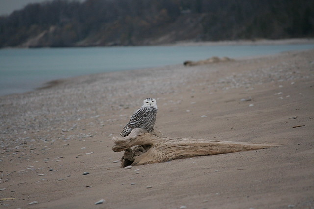 snowy owl visits bayfield beach