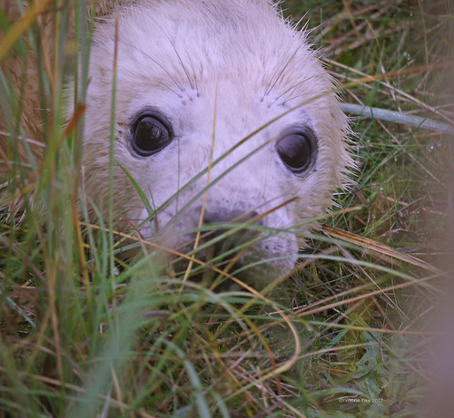 Seal pup by yvonnepay615
