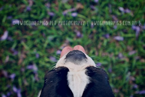 Guess, Rook the pug cross boston terrier, by twoguineapigs pet photography