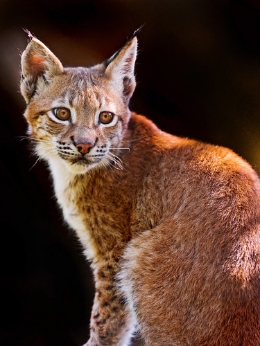 無料写真素材, 動物 , 猫・ネコ, オオヤマネコ
