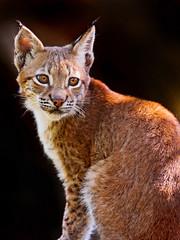 [フリー画像素材] 動物 1, 猫・ネコ, オオヤマネコ ID:201112051000