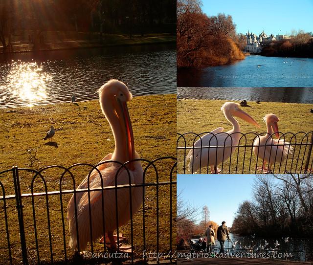 immagini Pellicani rosa parco st james Londra