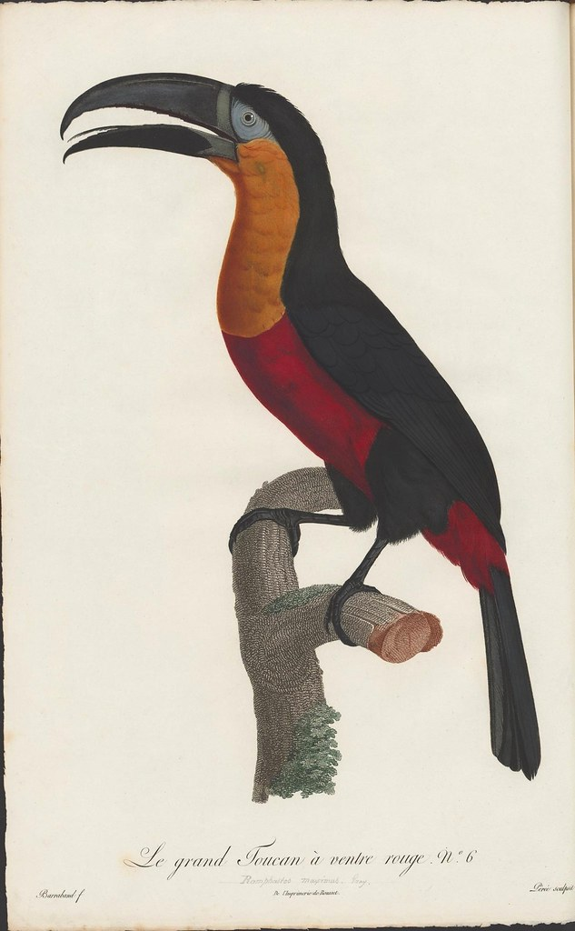toucan engraving