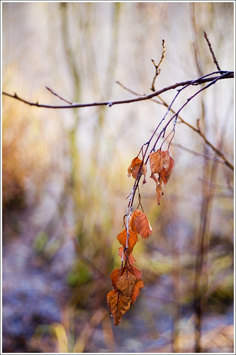 20111110. Leaves of birch. 0105. by Tiina Gill