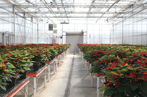 2011_SIGardens_poinsettia-03.jpg