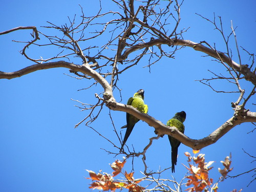wild parrots in the sycamore