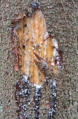 Swelling pine tree