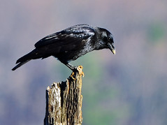 NJ: Merrill Creek Crow