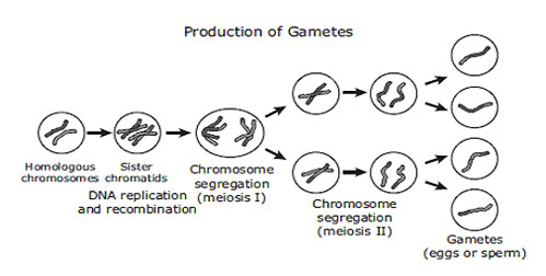 production of gametes info Gametes with the somatic chromosome number: mechanisms of their formation and  involved in 2n gamete production have increased our  info.