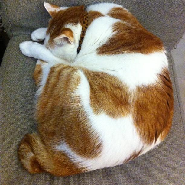 咖啡實驗室的店貓之一:大寶