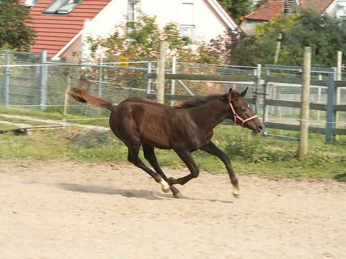 Boderitz Pferd 217