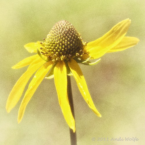 Gray coneflower by andiwolfe