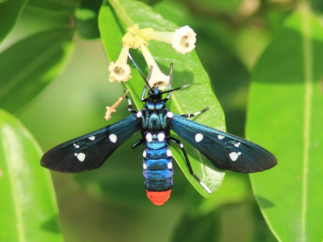 Polka-Dot Wasp Moth-Syntomeida epilais 2-20111217