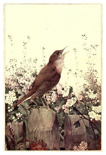 035-Ruiseñor- Birds in town & village 1920-Ilustrado por Edward Detmold