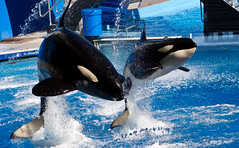animal, marine mammal, whale, sea, marine biology, killer whale,