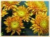 Chrysanthemum with tangerine flowers
