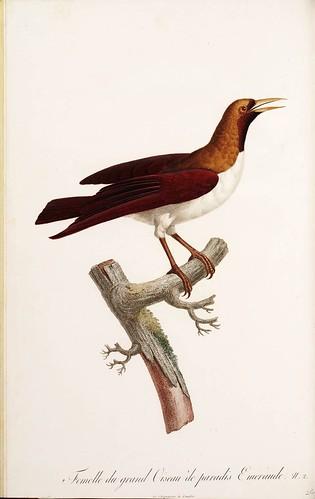 009-Ave del paraiso esmeralda hembra-Histoire naturelle des Oiseaux de paradis et des Rolliers.. 1806-François Levaillant