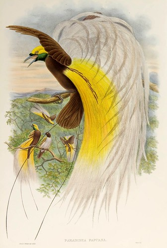 030-Ave del paraiso de Papua-The birds of New Guinea and the adjacent Papuan islands..1875-1888-Vol I-Gould y Sharpe