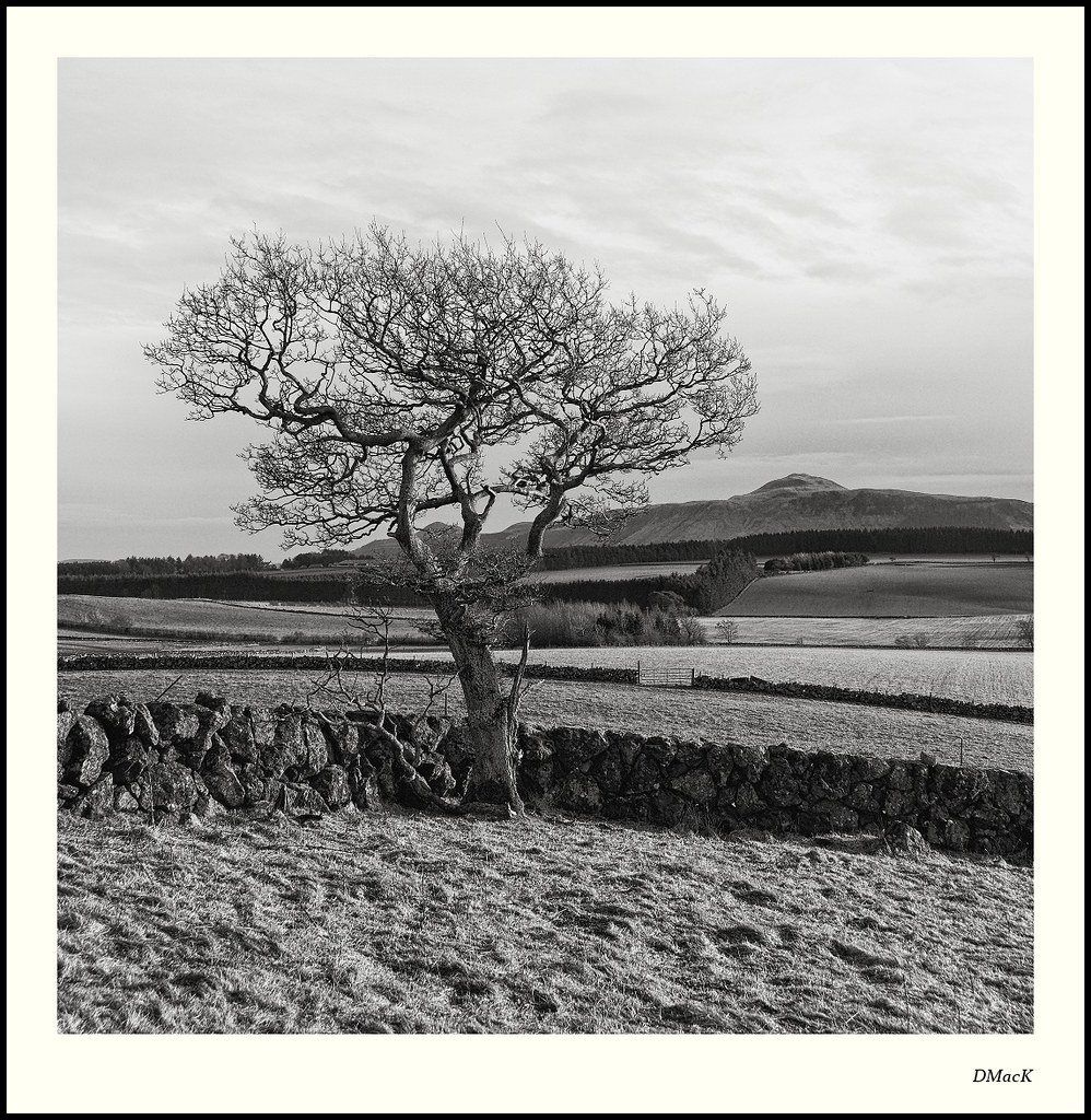 A Wall, a Tree and the Lomond Hills