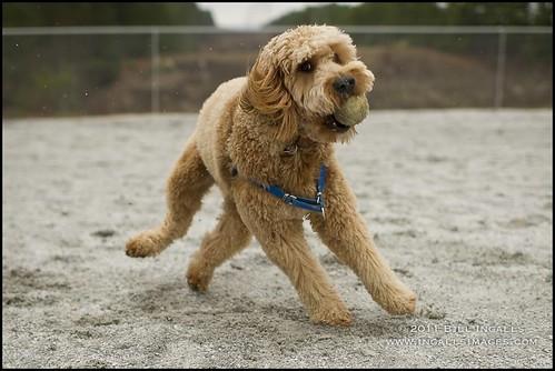 usa dog sc southcarolina salem minigoldendoodle billingalls ingallsimages billingallsingallsimages rileyingalls