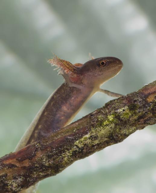 palmate newt tadpole edited