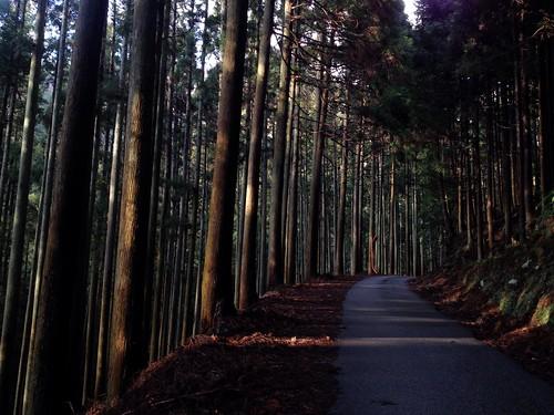 目眩の杉林路 by Nakai Nakaya
