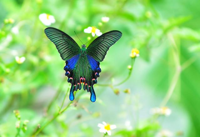 雙環鳳蝶 Papilio hopponis Matsumura