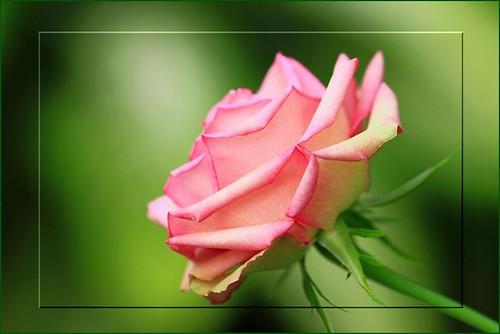 Rose by T.takako