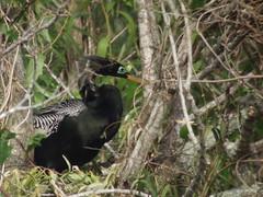 Anhinga, Everglades NP, FL