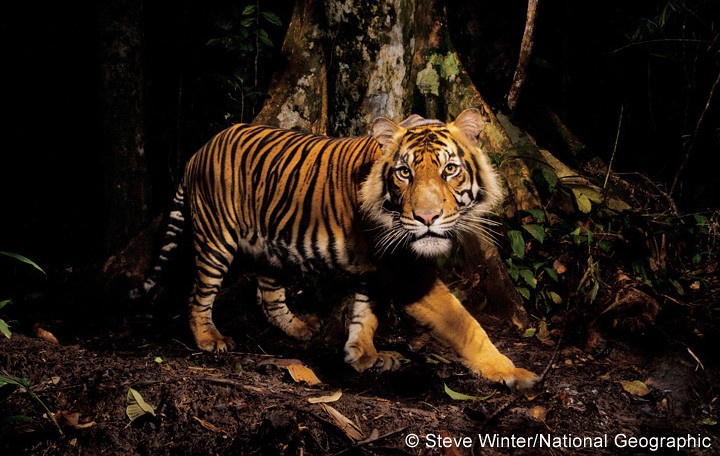 A tiger peers at a camera trap -  Sumatra, Indonesia