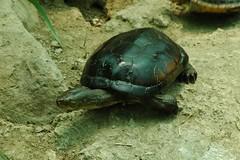 柴棺龜(特生中心林德恩提供)