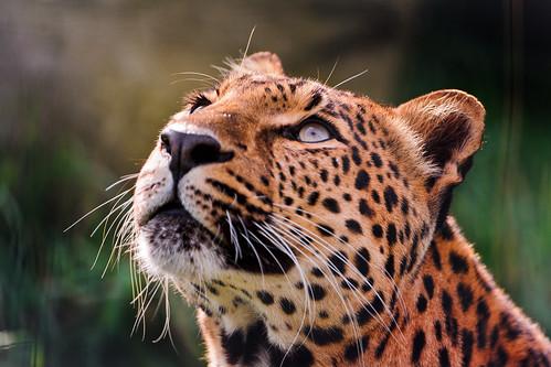 [フリー画像素材] 動物 1, 豹・ヒョウ ID:201201111000