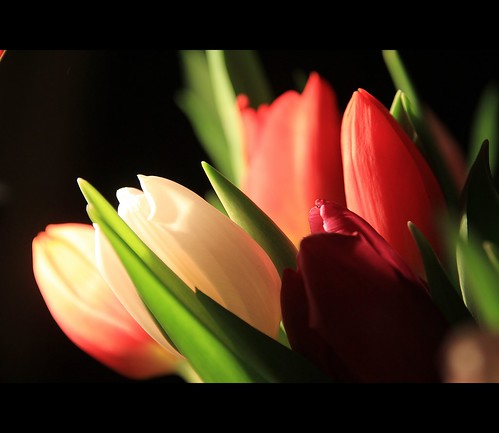luminous tulips