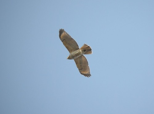 Red-shouldered Hawk (2nd calendar year), Montcalm Co., MI, January 11, 2012
