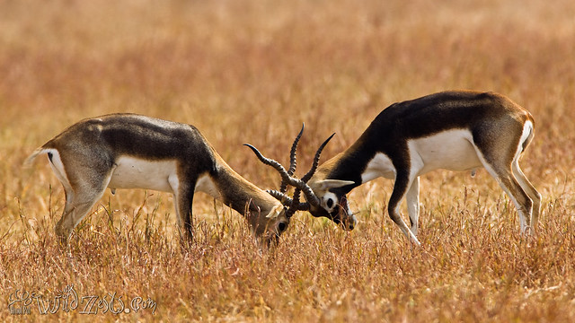 Blackbucks Fighting