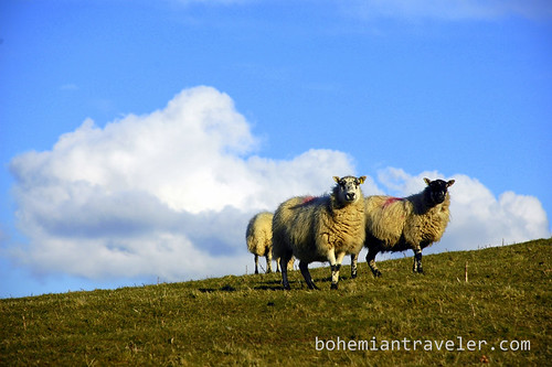 Sheep in Mid-Wales