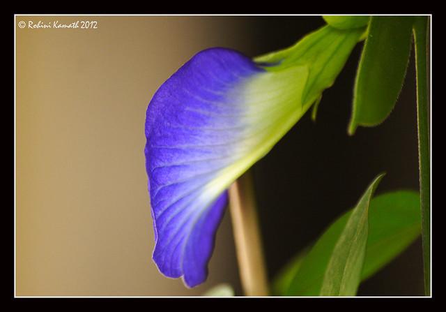 ButterflyPea_2
