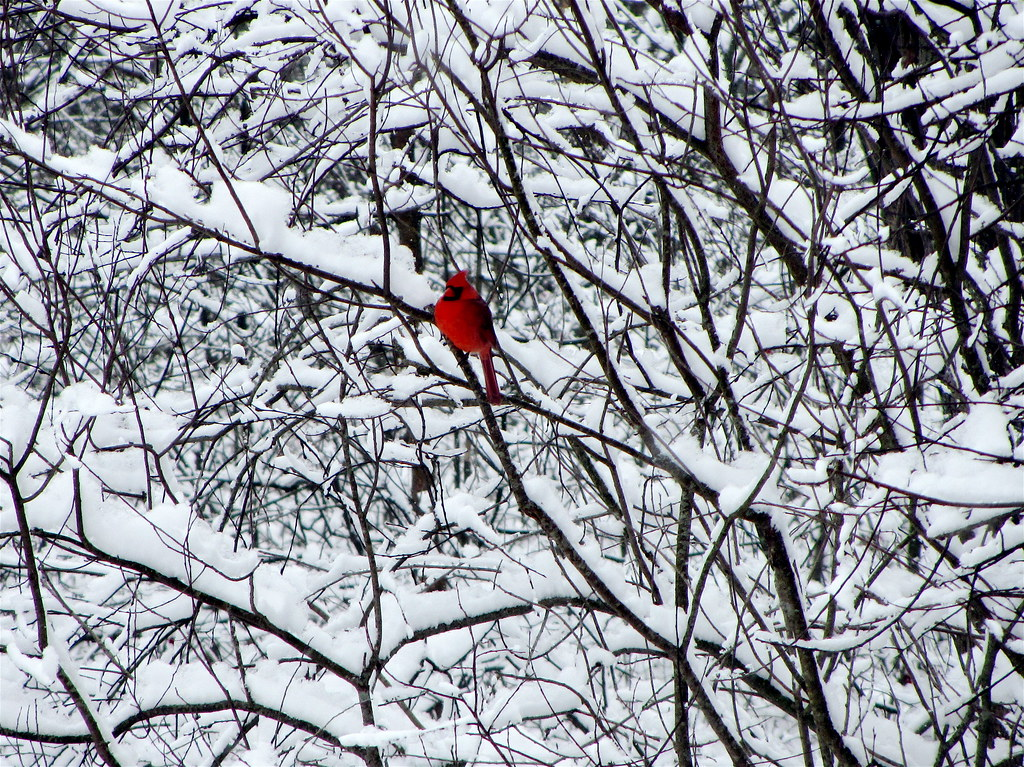 Snow day the connection - Pictures of cardinals in snow ...