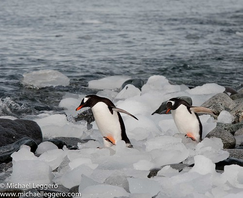 gentoo penguins by Michael Leggero