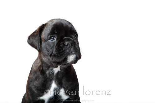 Boxer Puppy by Megan Lorenz