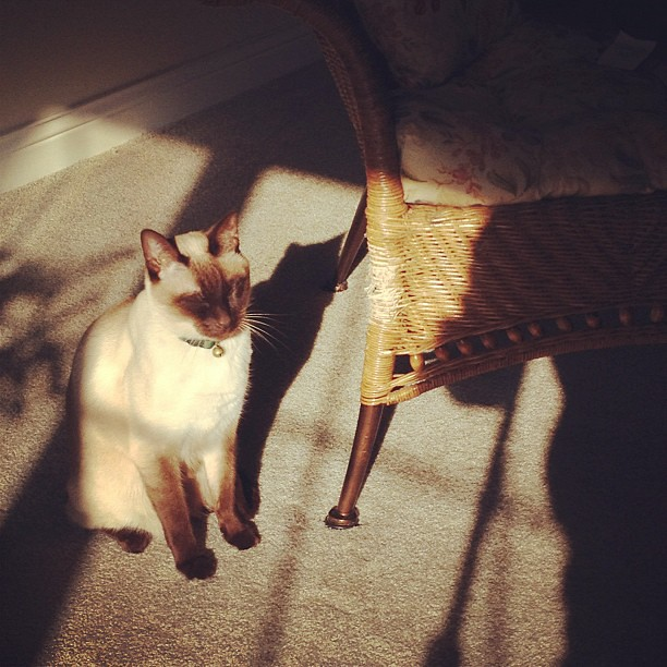 21/365+1 Soaking in The Morning Sun #cat #siamese
