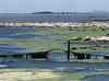 Scum and algae on Lake Corangamite's eastern shore by Skeggsy