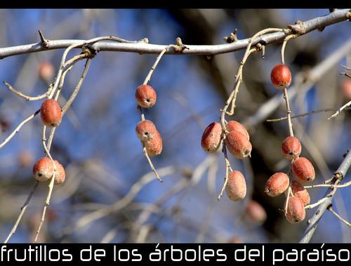 de los árboles del paraíso