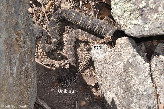 Devil Tail, Green Male, Unibrau, and 520 (Arizona Black Rattlesnakes).