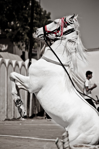 The Prancing Beauty.