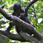 Mantled Howler Monkey