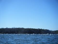 Sea Gulls on Lake Robinson
