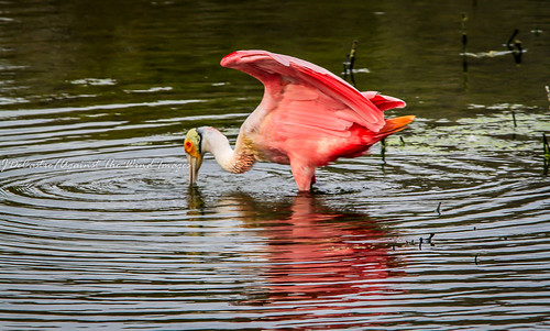 Roseate Spoonbill plummage-3888 by Against The Wind Images